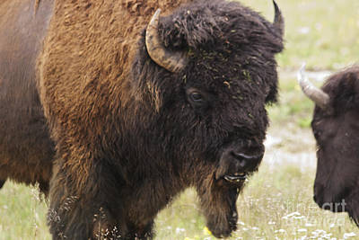 Poster featuring the photograph Bison From Yellowstone by Belinda Greb