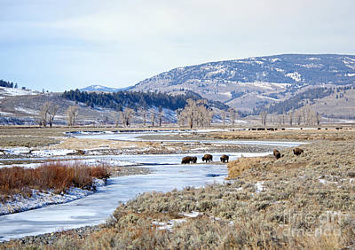 Bison In Lamar Valley Poster