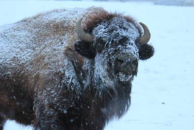 Bison In Snow Poster