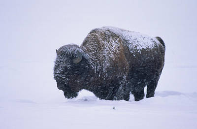 Bison In Snowstorm, Yellowstone Poster