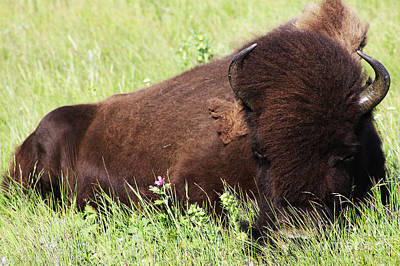 Poster featuring the photograph Bison Nap by Alyce Taylor