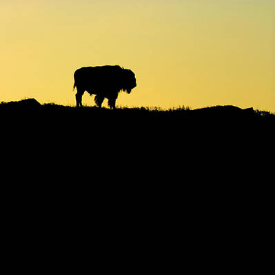 Poster featuring the photograph Bison Sunrise by Sonya Lang