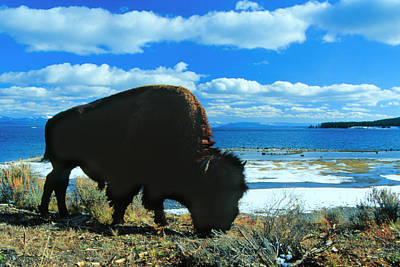 Bison Yellowstone Poster