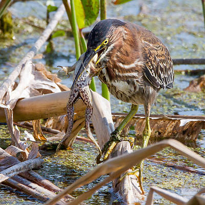Poster featuring the photograph Green Heron Has A Frog In Its Throat by Phil Stone