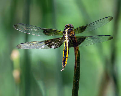 Black And Gold Female Widow Skimmer Dragonfly  Poster