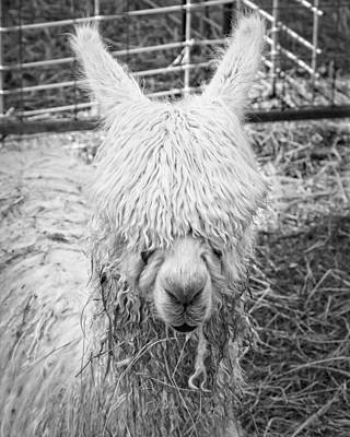 Black And White Alpaca Photograph Poster