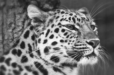 Black And White - Amur Leopard Portrait Poster