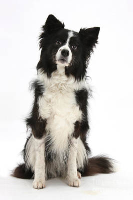 Black-and-white Border Collie Poster by Mark Taylor