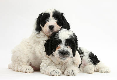 Black-and-white Cavapoo Puppies Poster by Mark Taylor