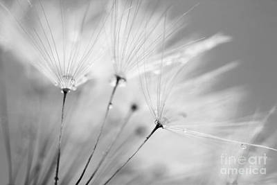 Black And White Dandelion And Water Droplets Poster by Natalie Kinnear