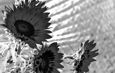 Black And White Flower Of The Sun Poster