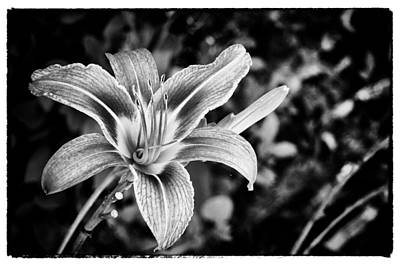 Poster featuring the photograph Black And White Lily by Bradley Clay