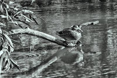 Black And White Presentation Of  Female Mallard Duck Sitting On A Log Near And Reflected In Water Poster