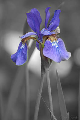 Poster featuring the photograph Black And White Purple Iris by Brenda Jacobs
