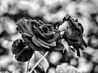 Black And White Red Rose Db Late September 2013 Poster