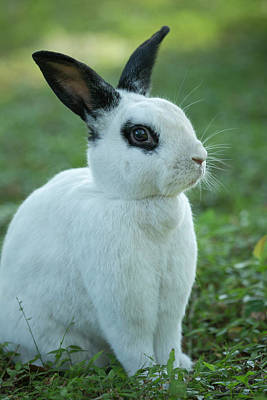Black And White Rex Rabbit With Doe Poster