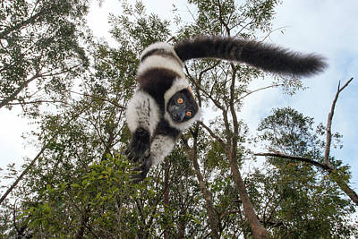 Black-and-white Ruffed Lemur Poster by Dr P. Marazzi