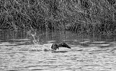 Black And White Splashing Start Cormorant Beginning To Fly From Water In Creek Of  Enkoepin Poster by Leif Sohlman