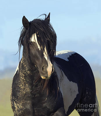 Black And White Stallion Comes Close Poster by Carol Walker
