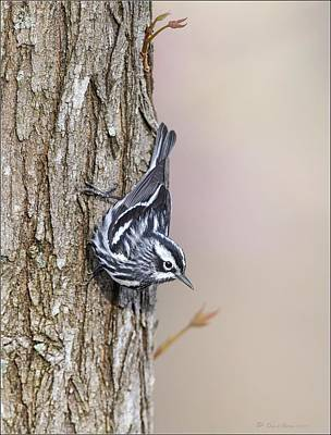 Black And White Warbler Poster by Daniel Behm