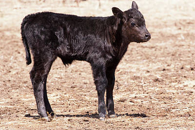 Black Angus Calf Standing In Pasture Poster by Piperanne Worcester