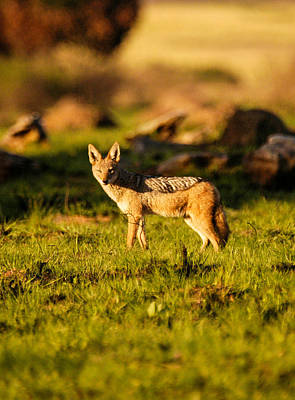 Black Backed Jackal Poster by Alistair Lyne