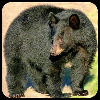 Black Bear 3 Poster by Will Borden