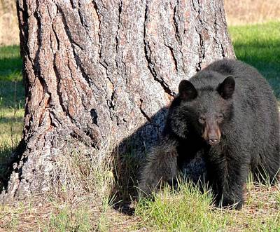 Black Bear 4 Poster by Will Borden