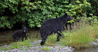Black Bear And Cub Poster
