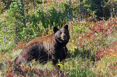 Black Bear, Autumn Berry Country Poster