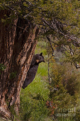 Poster featuring the photograph Black Bear In A Tree by J L Woody Wooden