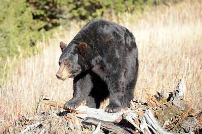 Black Bear On Wood Poster by Rick Sroka