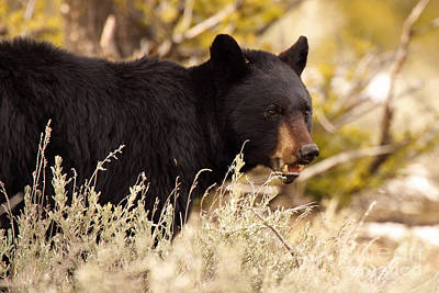 Black Bear Showing Teeth Poster by Max Allen