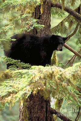 Black Bear. Southeast Alaska Poster by Art Wolfe