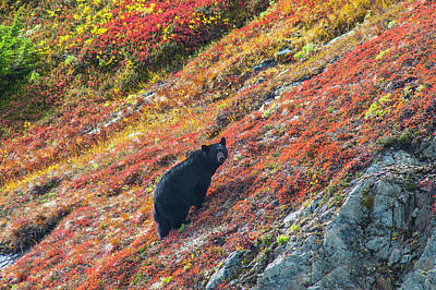 Black Bear  Urus Americanus  Standing Poster by Michael Jones
