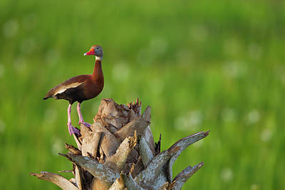 Black-bellied Whistling Duck On Cabbage Poster by Maresa Pryor