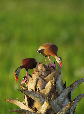 Black-bellied Whistling Duck Pair Poster by Maresa Pryor