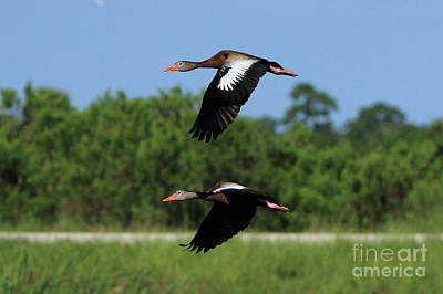 Black-bellied Whistling Ducks Poster