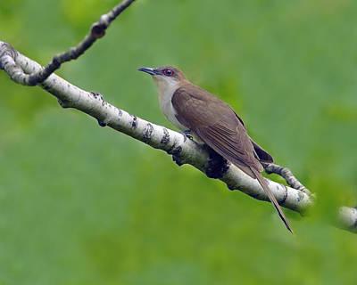 Black-billed Cuckoo Poster