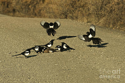Black-billed Magpies At Roadkill Poster by Ron Sanford