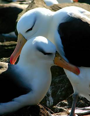 Black Browed Albatross Pair Poster