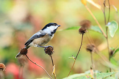 Black Capped Chickadee 1 Poster
