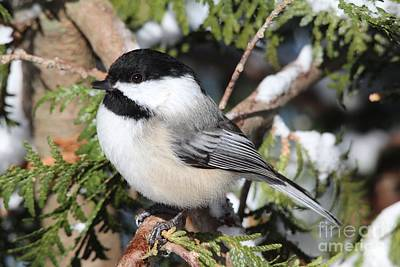 Black-capped Chickadee 9527 Poster by Joseph Marquis
