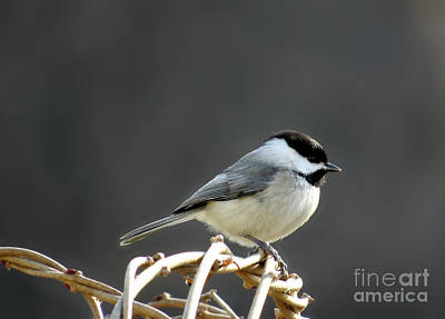 Poster featuring the photograph Black-capped Chickadee by Brenda Bostic