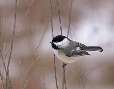 Black-capped Chickadee Poster by Brian Magnier