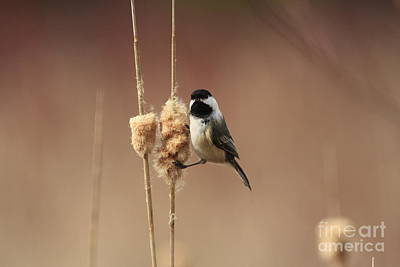 Black Capped Chickadee In The Marsh Poster by Inspired Nature Photography Fine Art Photography