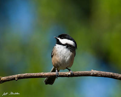 Black Capped Chickadee Perched On A Branch Poster by Jeff Goulden