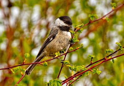 Black Capped Chickadee Poster by Tikvah's Hope