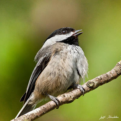 Black Capped Chickadee Singing Poster