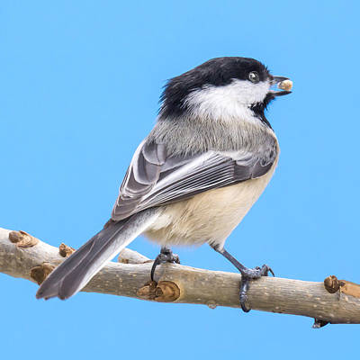 Black-capped Chickadee With Safflower Seed Poster by Jim Hughes
